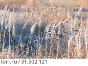 Купить «beautiful wild grass in frost», фото № 31502121, снято 22 октября 2018 г. (c) Майя Крученкова / Фотобанк Лори