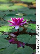 Купить «Розовая водяная лилия (nymphaea) в пруду», фото № 31503865, снято 2 апреля 2012 г. (c) Татьяна Белова / Фотобанк Лори