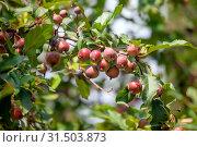 Купить «Яблоки зреют на дереве в Никитском ботаническом саду ранней осенью», фото № 31503873, снято 18 сентября 2016 г. (c) Татьяна Белова / Фотобанк Лори