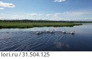Купить «Лебеди-шипуны плавают по озеру. Стая птиц летом возле города Надым, Ямало-Ненецкий автономный округ», видеоролик № 31504125, снято 10 июля 2019 г. (c) Григорий Писоцкий / Фотобанк Лори