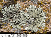 Parmelia caperata or Flavoparmelia caperata is a foliose lichen with soralia and occasionally abrown apothecia. This photo was taken in Arribes del Duero... Стоковое фото, фотограф J M Barres / age Fotostock / Фотобанк Лори
