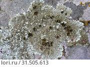 Купить «Xanthoparmelia tinctina or Parmelia tinctina is a foliose lichen with isidia and sometimes apothecia. This photo was taken in La Albera, Girona province, Catalonia, Spain.», фото № 31505613, снято 2 мая 2019 г. (c) age Fotostock / Фотобанк Лори
