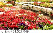 Купить «Flowering plants fern cultivated in modern orangery», видеоролик № 31527049, снято 26 мая 2019 г. (c) Яков Филимонов / Фотобанк Лори