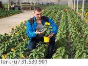 Купить «Skilled florist man engaged in cultivation of plants of decorative sunflower in greenhouse», фото № 31530901, снято 9 апреля 2019 г. (c) Яков Филимонов / Фотобанк Лори