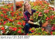 Купить «Female florist cultivating Begonia Semperflorens», фото № 31531097, снято 20 июля 2019 г. (c) Яков Филимонов / Фотобанк Лори