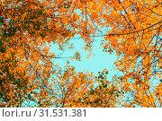 Купить «Осенний пейзаж. Autumn tree tops - orange autumn tree tops against blue sky. Autumn trees branches on the background of blue sky in sunny autumn weather», фото № 31531381, снято 9 октября 2016 г. (c) Зезелина Марина / Фотобанк Лори