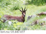 Купить «Chamois, Lombardy, Italy, Europe», фото № 31647077, снято 11 июля 2019 г. (c) age Fotostock / Фотобанк Лори