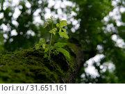 Купить «Young sprig on an old mossy trunk», фото № 31651161, снято 1 июля 2019 г. (c) Евгений Харитонов / Фотобанк Лори