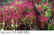 Купить «View of colorful plantation of flowers in sunny greenhouse», видеоролик № 31699053, снято 3 июня 2019 г. (c) Яков Филимонов / Фотобанк Лори