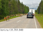Купить «Huge herd of reindeer (Rangifer tarandus) with cubs on road. Traffic stop. Kuusamo, Suomi», фото № 31701949, снято 3 июля 2019 г. (c) Валерия Попова / Фотобанк Лори