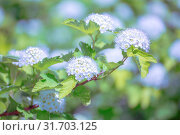 Купить «beautiful background of flowering shrubs. Spirey May bride in summer sunny day», фото № 31703125, снято 1 июня 2019 г. (c) Акиньшин Владимир / Фотобанк Лори