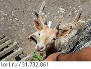The deer with horns close-up (Greece) Стоковое фото, фотограф Татьяна Ляпи / Фотобанк Лори
