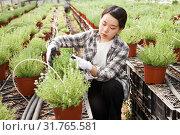 Portrait of florist with flowers lavender in greenhouse. Стоковое фото, фотограф Яков Филимонов / Фотобанк Лори