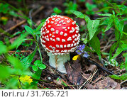Мухомор красный в лесу. Летний день. Стоковое фото, фотограф E. O. / Фотобанк Лори