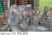 Купить «Маленькие серые кролики в клетке», фото № 31765893, снято 20 июля 2019 г. (c) E. O. / Фотобанк Лори
