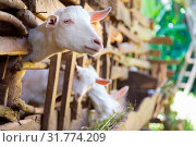 Купить «Three curious domestic white goats stick their heads through vintage wooden bars of stable.», фото № 31774209, снято 3 июня 2020 г. (c) easy Fotostock / Фотобанк Лори
