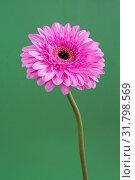 Купить «beautiful pink gerbera on a green background», фото № 31798569, снято 12 марта 2014 г. (c) Володина Ольга / Фотобанк Лори