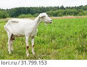 Купить «Худая белая коза на поляне рядом с лесом», фото № 31799153, снято 23 июля 2019 г. (c) Екатерина Овсянникова / Фотобанк Лори