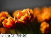 Много жёлто красных тюльпанов растут на клумбе. Стоковое фото, фотограф Игорь Низов / Фотобанк Лори