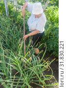 Купить «Пожилая женщина окучивает огород», эксклюзивное фото № 31830221, снято 2 июля 2019 г. (c) Наталья Федорова / Фотобанк Лори