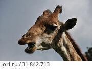 Купить «Голова Африканского жирафа», эксклюзивное фото № 31842713, снято 4 сентября 2014 г. (c) lana1501 / Фотобанк Лори