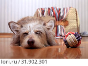 Купить «Cute sleeping dog lying on the floor next to the ball», фото № 31902301, снято 26 июля 2019 г. (c) Яна Королёва / Фотобанк Лори