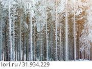 Купить «Frosty tree trunks in a spruce forest in winter», фото № 31934229, снято 21 августа 2019 г. (c) easy Fotostock / Фотобанк Лори