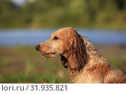 Купить «Dog breed Russian hunting spaniel outdoors portrait», фото № 31935821, снято 31 июля 2019 г. (c) Яна Королёва / Фотобанк Лори