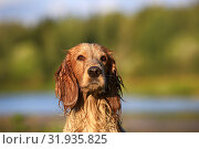 Купить «Dog breed Russian hunting spaniel outdoors portrait», фото № 31935825, снято 31 июля 2019 г. (c) Яна Королёва / Фотобанк Лори