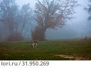Купить «Wolf waiting in a foggy forest», фото № 31950269, снято 10 апреля 2020 г. (c) easy Fotostock / Фотобанк Лори