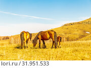 Купить «Exhausted after a bad winter feed, horses and foals graze at the foot of the hill.», фото № 31951533, снято 24 апреля 2019 г. (c) Акиньшин Владимир / Фотобанк Лори