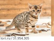 Купить «Purebred striped Bengal breed kitten portrait», фото № 31954305, снято 25 января 2017 г. (c) Константин Лабунский / Фотобанк Лори