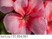 Пеларгония зональная Pelargonium zonale Willd. Стоковое фото, фотограф А. А. Пирагис / Фотобанк Лори