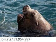 Купить «Морской лев Стеллера, или сивуч», фото № 31954997, снято 3 февраля 2019 г. (c) А. А. Пирагис / Фотобанк Лори
