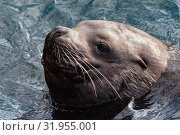 Купить «Морской лев Стеллера, или сивуч», фото № 31955001, снято 3 февраля 2019 г. (c) А. А. Пирагис / Фотобанк Лори
