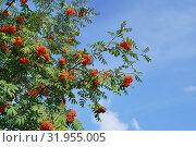 Купить «Ветви рябины обыкновенной с плодами на фоне неба», эксклюзивное фото № 31955005, снято 21 июля 2019 г. (c) Dmitry29 / Фотобанк Лори
