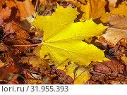 Купить «Желтый кленовый лист на земле. Осень», фото № 31955393, снято 17 октября 2018 г. (c) Татьяна Белова / Фотобанк Лори