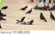 Купить «Flock of pigeons eating another dead pigeon - animal cruelty», видеоролик № 31985033, снято 23 февраля 2020 г. (c) Константин Шишкин / Фотобанк Лори