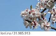 Close up apricot tree blossom over clear blue sky. Стоковое видео, видеограф Anton Eine / Фотобанк Лори