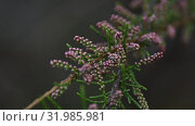 Close up flower buds of pink tamarix. Стоковое видео, видеограф Anton Eine / Фотобанк Лори