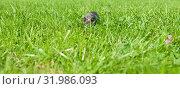 Купить «Маленький серый котенок прячется в зеленой траве. Солнечный день. Лето», фото № 31986093, снято 4 августа 2019 г. (c) Екатерина Овсянникова / Фотобанк Лори