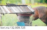 Купить «A woman leading a brown horse on the field», видеоролик № 32009725, снято 27 мая 2020 г. (c) Константин Шишкин / Фотобанк Лори