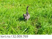 Купить «Маленький серый котенок крадется по зеленой траве в солнечный день летом», фото № 32009769, снято 4 августа 2019 г. (c) Екатерина Овсянникова / Фотобанк Лори