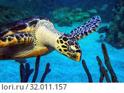 Купить «Морская черепаха. Крупный план.  Hawksbill turtle (Eretmochelys imbricata)», фото № 32011157, снято 18 февраля 2019 г. (c) Татьяна Белова / Фотобанк Лори