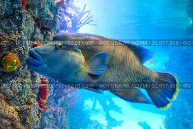 Купить «Рыба-Наполеон (Cheilinus undulatus) возле кораллового рифа в солнечных бликах», фото № 32017005, снято 18 февраля 2019 г. (c) Татьяна Белова / Фотобанк Лори