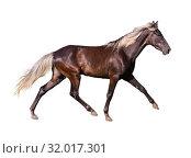 Купить «Серебристо-черная лошадь породы Скалистые горы на белом фоне изолированных», фото № 32017301, снято 8 июня 2014 г. (c) Наталья Волкова / Фотобанк Лори
