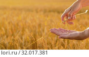 Купить «hands peeling spickelet's shell on cereal field», видеоролик № 32017381, снято 4 августа 2019 г. (c) Syda Productions / Фотобанк Лори