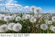 White fluffy faded dandelions in a field under a blue sky with clouds. Стоковое фото, фотограф Куликов Константин / Фотобанк Лори