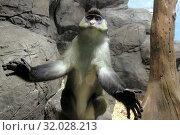 Купить «Краснохвостая мартышка (Cercopithecus ascanius schmidti)», фото № 32028213, снято 18 февраля 2019 г. (c) Татьяна Белова / Фотобанк Лори