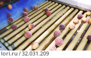 Купить «Fresh peaches on processing line of sorting and packaging», видеоролик № 32031209, снято 29 июня 2019 г. (c) Яков Филимонов / Фотобанк Лори